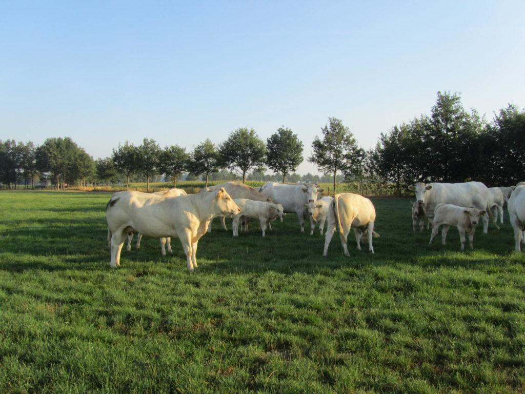 Picture: kudde zoogkoeien met kalveren